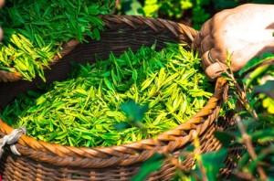 some-tea-leaves
